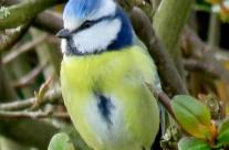 Les mésanges bleues